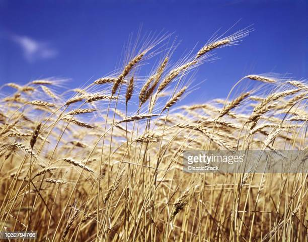 CLOSE-UP OF HEADS OF WHEAT...