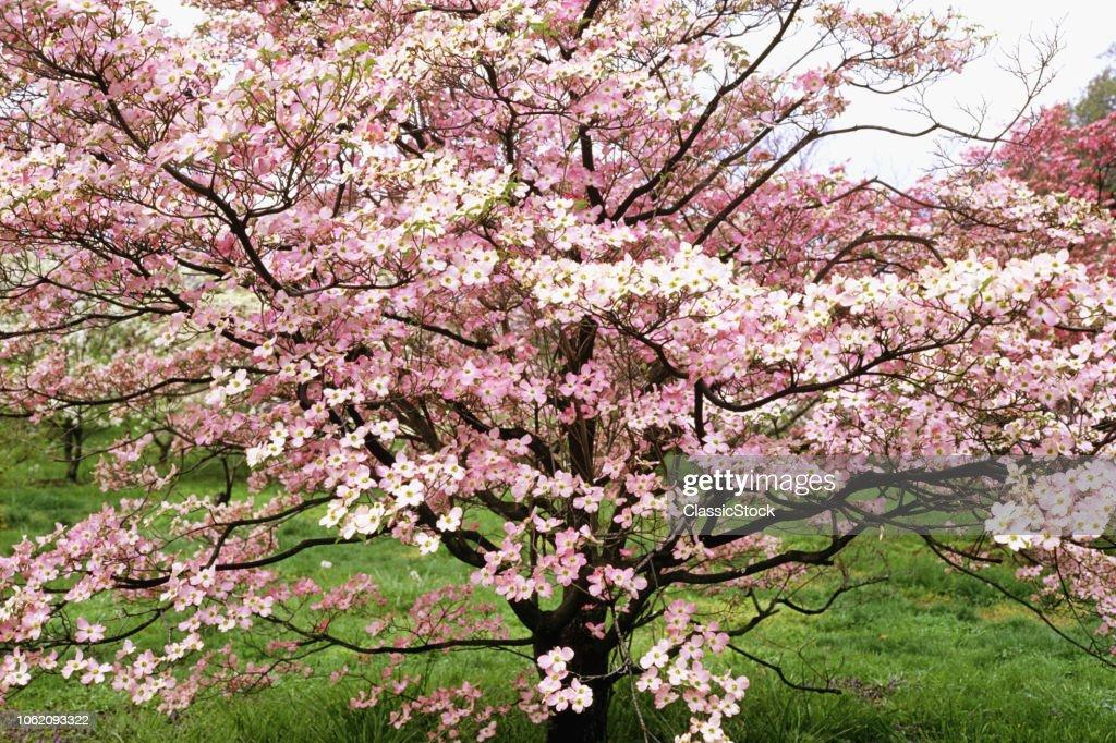 DOGWOOD TREE IN BLOOM... : News Photo