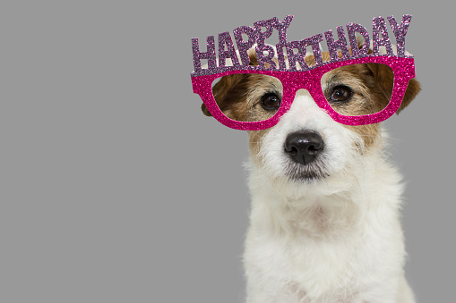 DOG CELEBRATING A PARTY. CUTE JACK RUSSELL WEARING PINK AND PURPLE BIRTHDAY GLASSES WITH TEXT. ISOLATED AGAINST GRAY COLORED BACKGROUND. 1074853942