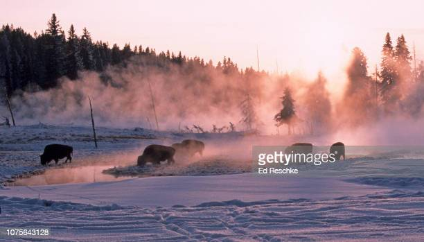 bison at sunset in yellowstone--thermal area in winter - mammal stock pictures, royalty-free photos & images