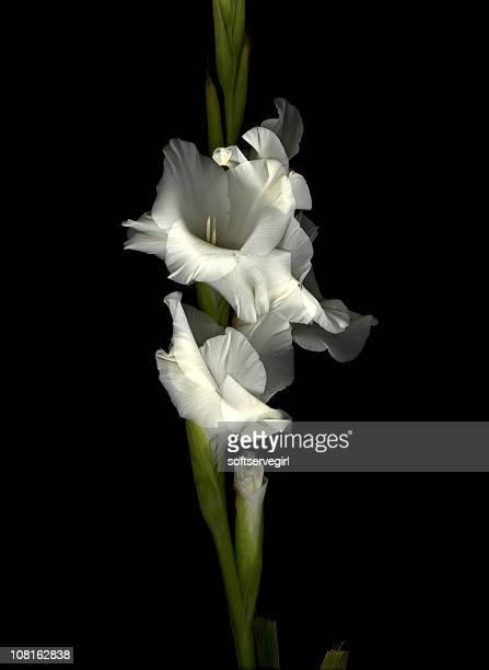 WHITE GLADIOLA FLOWER