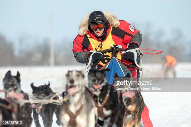 0 - dog sledding stock photos and pictures