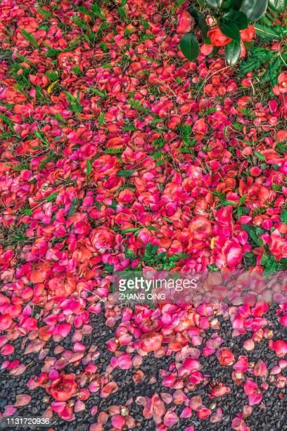 花びら、バラ、背景、赤、ピンク、月季花 - 赤 photos et images de collection