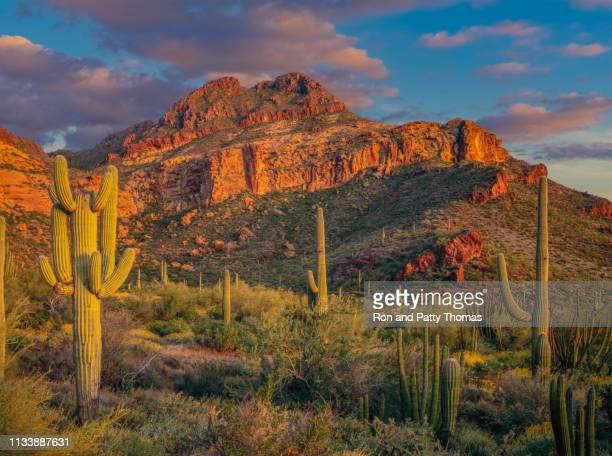 organ pipe cactus national monument - southwest usa stock pictures, royalty-free photos & images