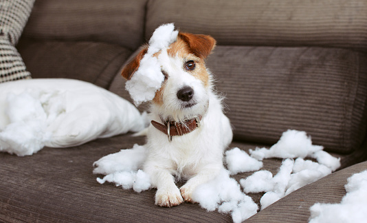 FUNNY DOG MISCHIEF. NAUGHTY JACK RUSSELL HOME ALONE AFTER BITE A PILOW. SEPARATION ANXIETY CONCEPT 1135485863
