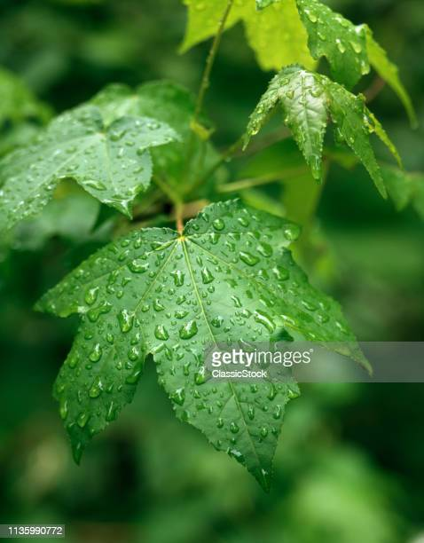 PALMATE SWEET GUM LEAVES WET WITH RAIN DROPS OR DEW