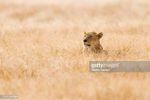 the queen - leones cazando fotografías e imágenes de stock