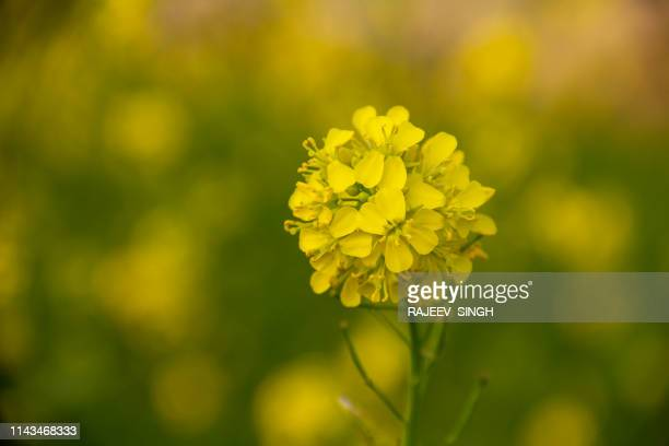 mustard flower - mustard stock pictures, royalty-free photos & images