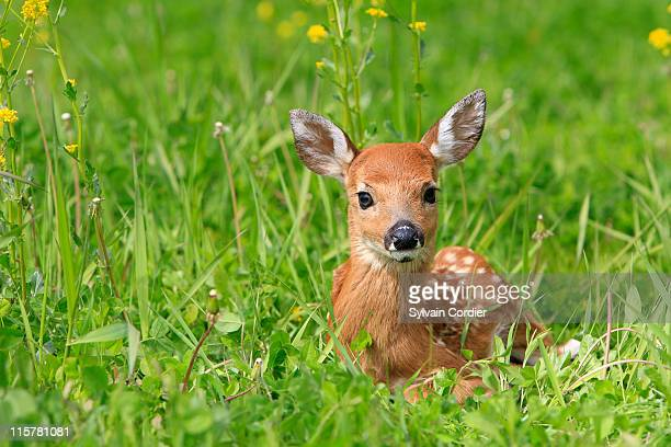 fawn . white tailed deer - fawn stock photos and pictures