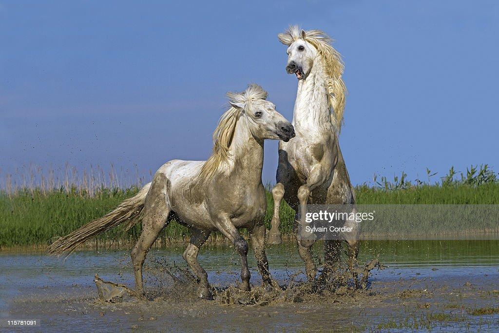 CAMARGUE HORSE : Foto de stock
