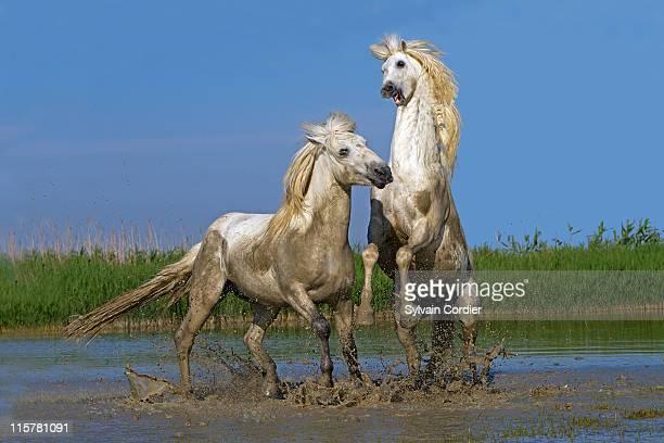camargue horse - vida selvagem imagens e fotografias de stock