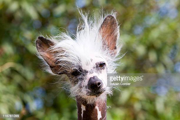 chinese crested dog (hairless) - chinese crested dog stock photos and pictures