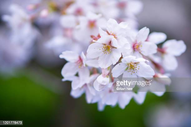 目黒川の桜 - nee nee stock pictures, royalty-free photos & images