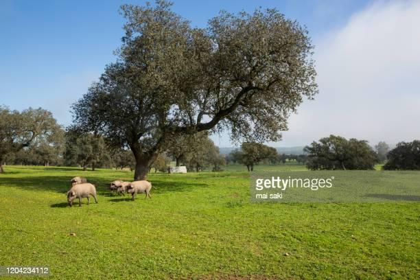 cerdos ibericos en dehesa - extremadura stock pictures, royalty-free photos & images