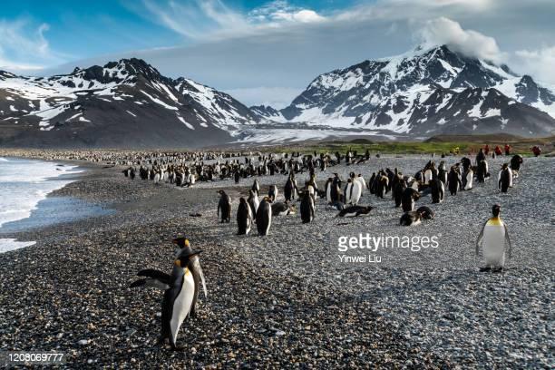 南喬治亞聖安德魯斯灣的國王企鵝 - falklands war stock pictures, royalty-free photos & images