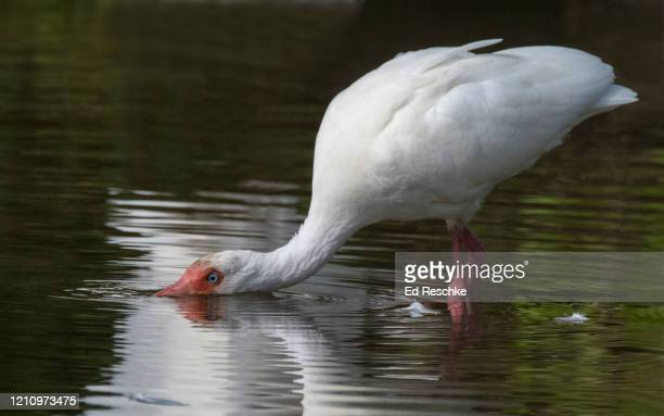 white ibis (eudocimus albus) sipping water - ed reschke photography photos et images de collection