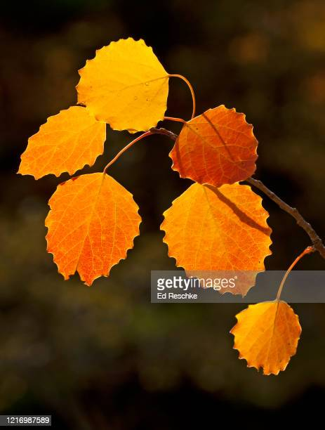bigtooth aspen (populus grandidentata), autumn leaves - ed reschke photography photos et images de collection