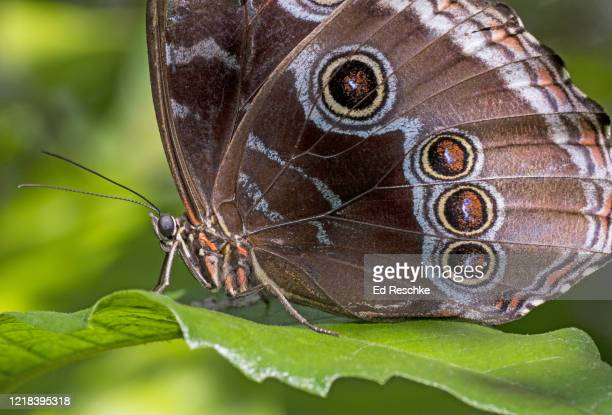 blue morpho butterfly (morpho peleides) - ed reschke photography photos et images de collection