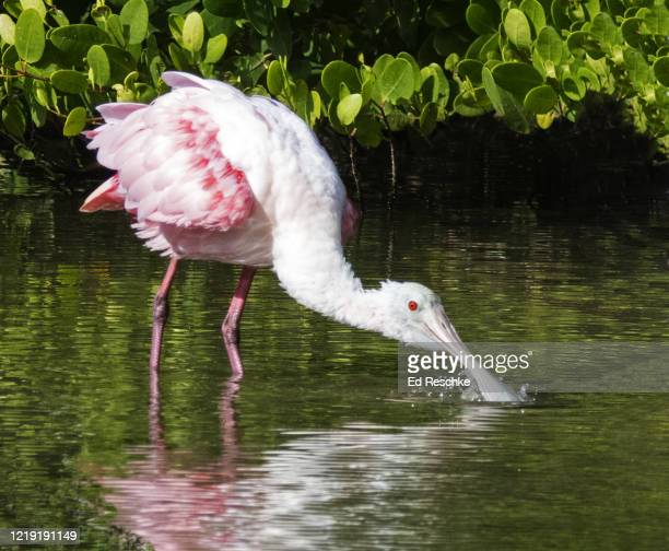roseate spoonbill (ajaja ajaja) filter feeding - ed reschke photography photos et images de collection