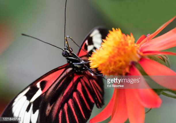 madeira butterfly (heliconius melpomene) - ed reschke photography photos et images de collection