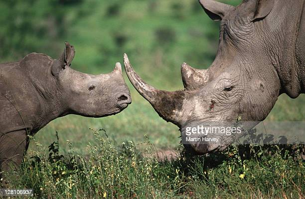 WHITE RHINOCEROS. YOUNG CALF AND ADULT GREETING. CERATOTHERIUM SIMUM. SOUTH EASTERN AFRICA.