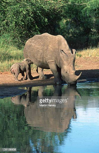 WHITE RHINOCEROS. SIX WEEK OLD CALF SUCKLING MOTHER WHILE WHILE SHE DRINKS AT WATERHOLE. CERATOTHERIUM SIMUM. SOUTH EASTERN AFRICA.