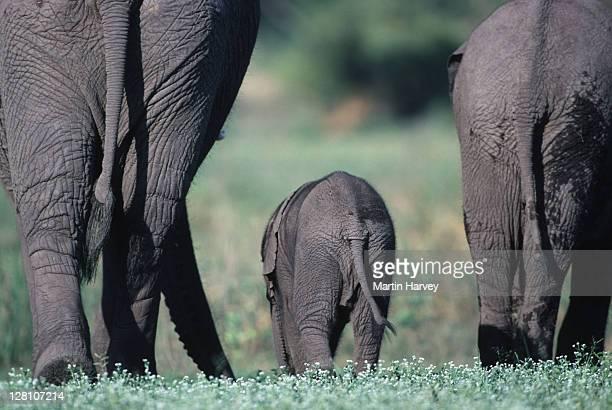 african elephant breeding herd with young. loxodonta africana. okovango delta. botswana. - gluteos grandes fotografías e imágenes de stock