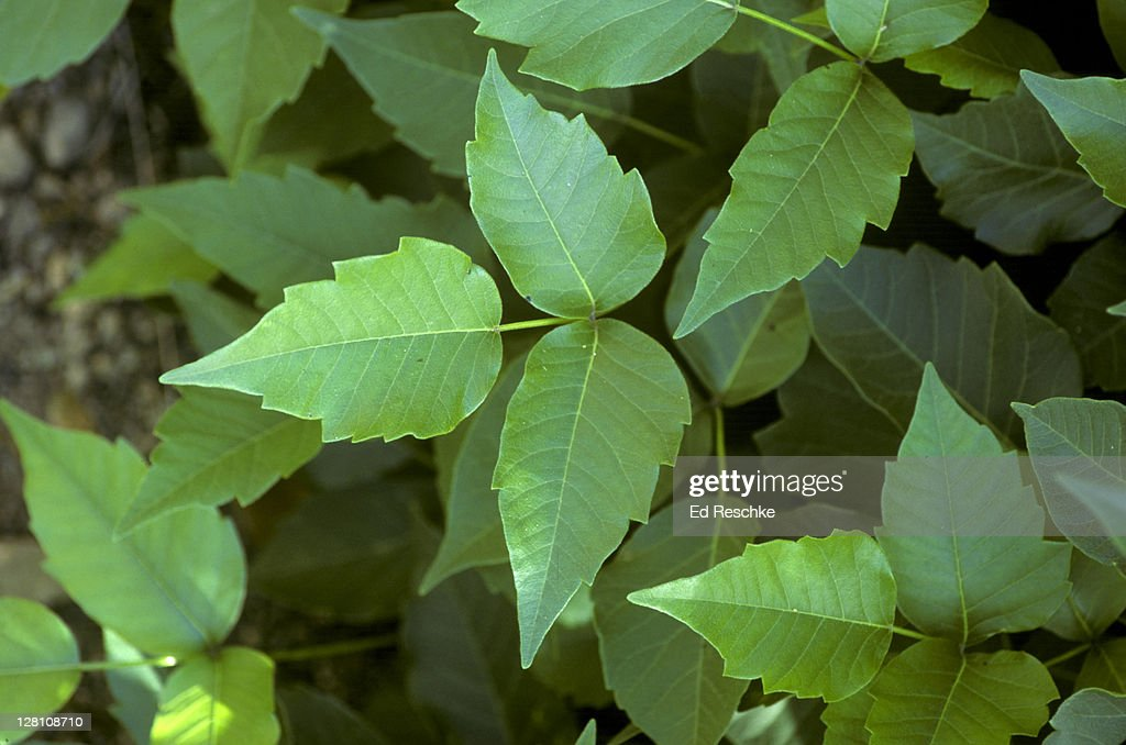 POISON IVY. RHUS RADICANS VOLATILE OILS CAUSE SEVERE SKIN INFLAMMATION, ITCHING, BLISTERING : Stock Photo
