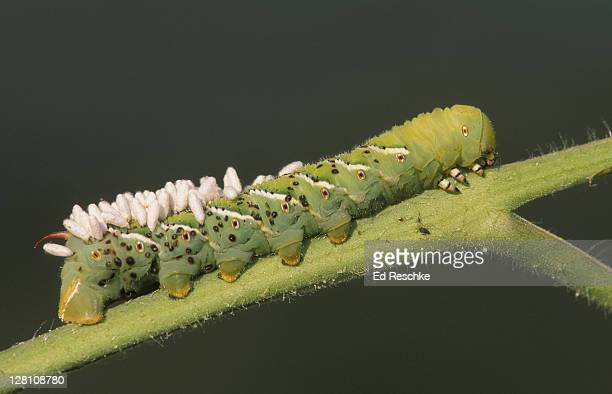 biological pest control: wasp pupae on tobacco hornworm. (parasitism) - ed reschke photography photos et images de collection