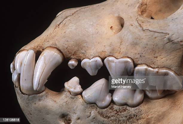 brown hyaena skull showing large canine and incisor teeth adapted to tearing flesh and breaking bones. hyaena brunnea. - 動物の歯 ストックフォトと画像