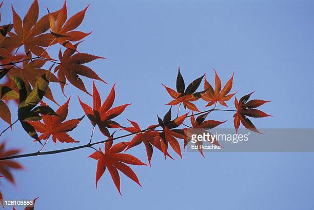 japanese maple. acer palmatum. ornamental tree. artistic fern. - ed reschke photography stock photos and pictures