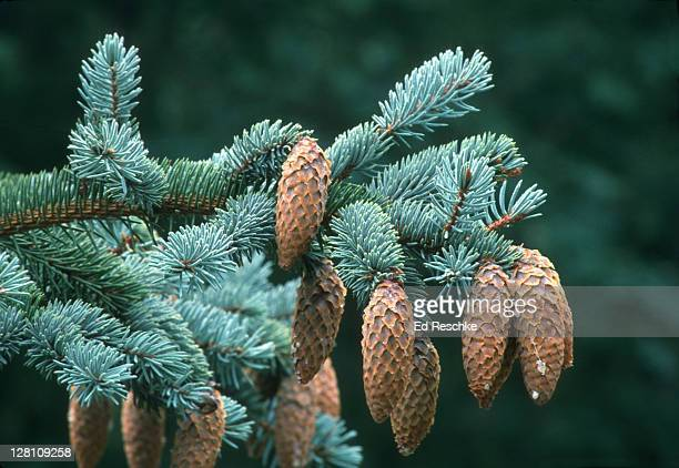blue spruce, picea pungens, with seed cones. rocky mts. - ed reschke photography stock photos and pictures