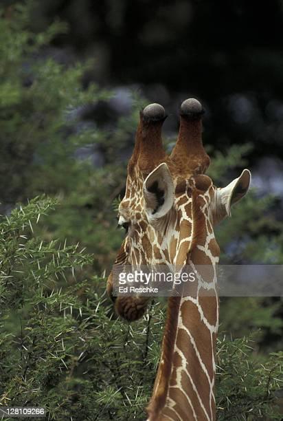reticulated giraffe, giraffe camelopardalis reticulata, samburu np. kenya - hoofed mammal stock pictures, royalty-free photos & images