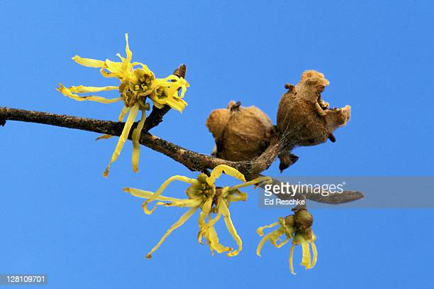 witch hazel, hamamelis virginiana. topical astringent, michigan - ed reschke photography stock pictures, royalty-free photos & images
