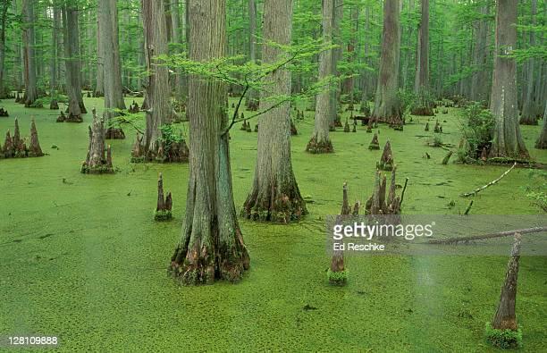 bald cypress swamp; taxodium distichum. . - bald cypress tree foto e immagini stock