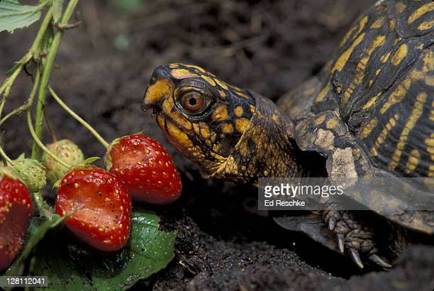 eastern box turtle eating strawberries (terrapene carolina) - box turtle stock pictures, royalty-free photos & images