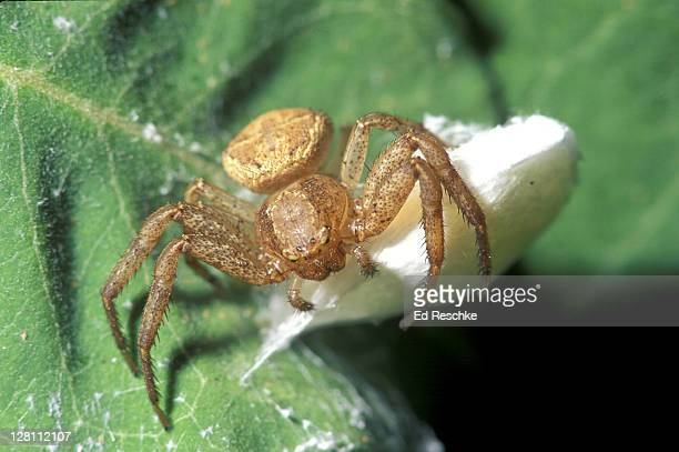 female spider guarding egg sac. chelicerae pedipalps. michigan - pedipalp stock photos and pictures