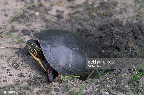 midland painted turtle digging a hole to deposit eggs. chrysemys picta marginata. michigan. - midland michigan stock pictures, royalty-free photos & images