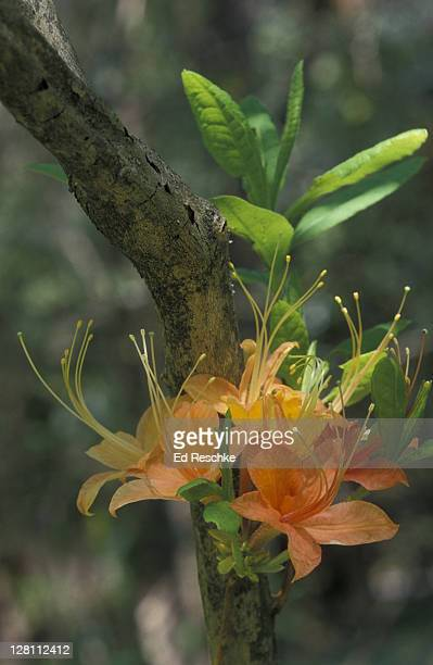flame azalea. rhododendron calendulaceum in the southern appalachians - ed reschke photography stock photos and pictures