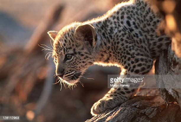 two month old leopard cub, panthera pardus. namibia. - linda rama fotografías e imágenes de stock