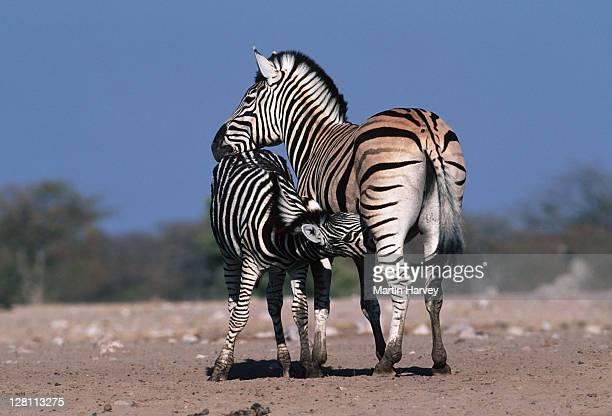 burchell s zebras, - equus burchelli. - mother nursing foal. - etosha np. namibia - mammifero foto e immagini stock