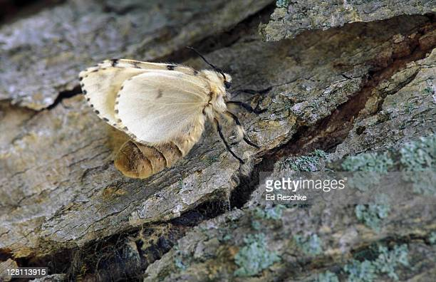 gypsy moth. adult. female. lymantria dispar. caterpillars are major pests of the forests. shade trees. - gypsy moth caterpillar stock pictures, royalty-free photos & images