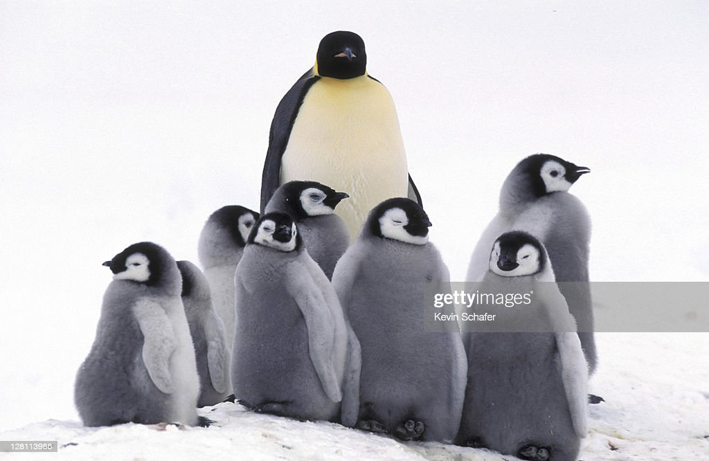 EMPEROR PENGUIN AND CHICKS. WEDDELL SEA. ANTARCTICA : Stock Photo