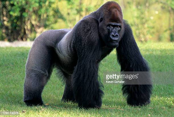 silverback lowland gorilla. miami zoo, florida - male animal stock pictures, royalty-free photos & images