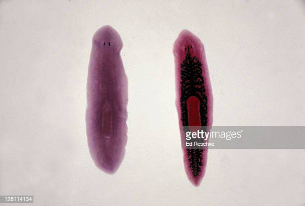 PLANARIA. ONE ON RIGHT HAS DIGESTIVE SYSTEM INJECTED. 4X