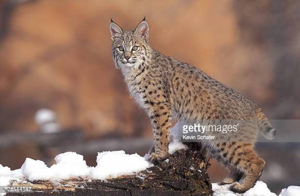 bobcat (felis rufus) on snowy ground. uinta national forest, utah. - lynx photos et images de collection