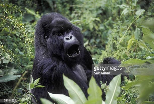 mountain gorilla in lush vegetation mugome, silverback, suza group. rwanda - rwanda stock pictures, royalty-free photos & images