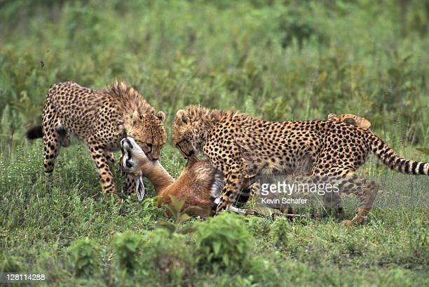 CHEETAHS CUBS, ACINONYX JUBATUS, FEEDING ON GAZELLE. SERENGETI NP, TANZANIA.