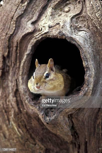 eastern chipmunk, tamias striatus, with bulging cheek pouches. sleeps in burrow for winter. no hibernation. - 冬眠 ストックフォトと画像