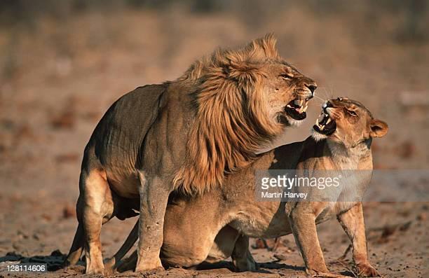 male and female lions mating. panthera leo. etosha national park. namibia. - accouplement animal photos et images de collection